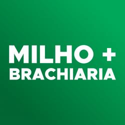 Ícone-consórcio milho e brachiaria
